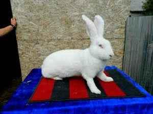 Кролики породы Бельгийский великан
