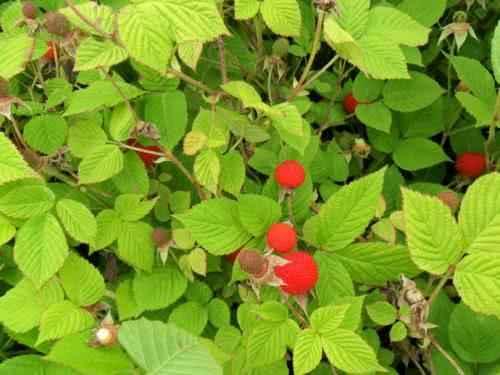 Посадка саженцев малины осенью