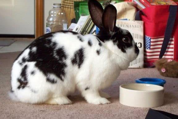 Породы кроликов. Меховые и пуховые породы.