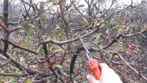 Обрезка плодовых деревьев для здоровья сада