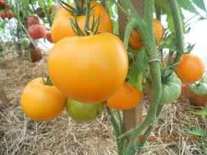 Популярные сорта помидоров