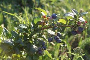 Голубика садовая Ковилла. Выращивание и уход.