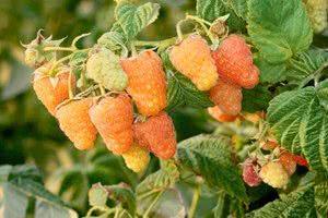 Когда лучше сажать малину для обильного урожая