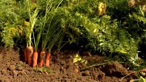 Технология выращивания моркови