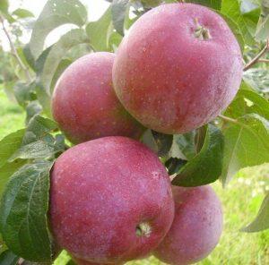 Яблоня Лайзанское зимнее