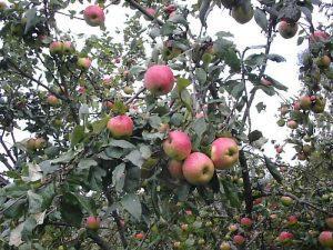 Яблоня Осеннее полосатое. (Штрейфлинг, Штрифель)