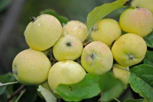 Яблоня Целминское желтое
