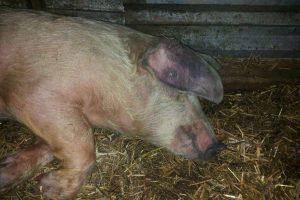 Африканская чума у свиней