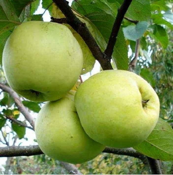 Урожайные сорта яблонь