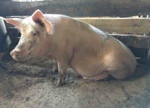 Мясо - сальная порода «Ландрас + Крупная белая»