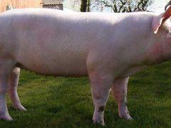 Сальная порода свиней «Крупная белая» и ее подвиды