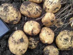 Что сделать с ботвой картофеля перед копкой?