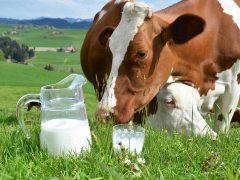 Почему корова дает молоко?