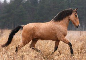 Лузитанская порода лошадей