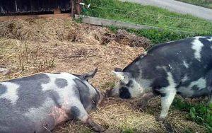 Сальный откорм свиней