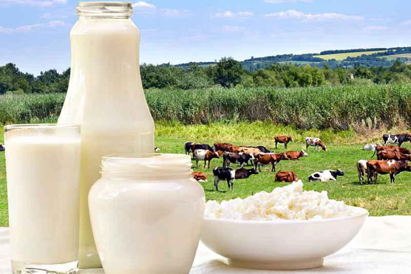 Почему у коровы горчит молоко