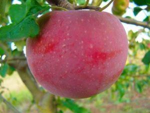 Яблоня Новогоднее