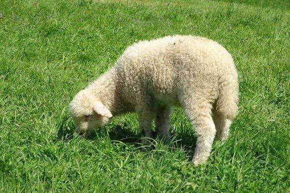 Что едят овцы
