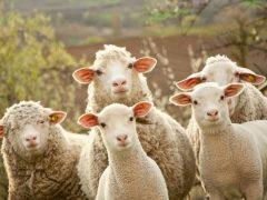 Что можно получить от овец.
