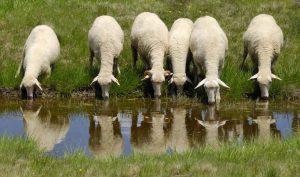 Что едят овцы в домашних условиях