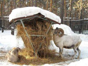 Какую траву едят овцы