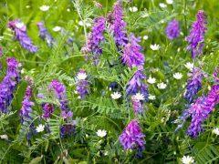 Какие сидераты можно сеять весной и осенью
