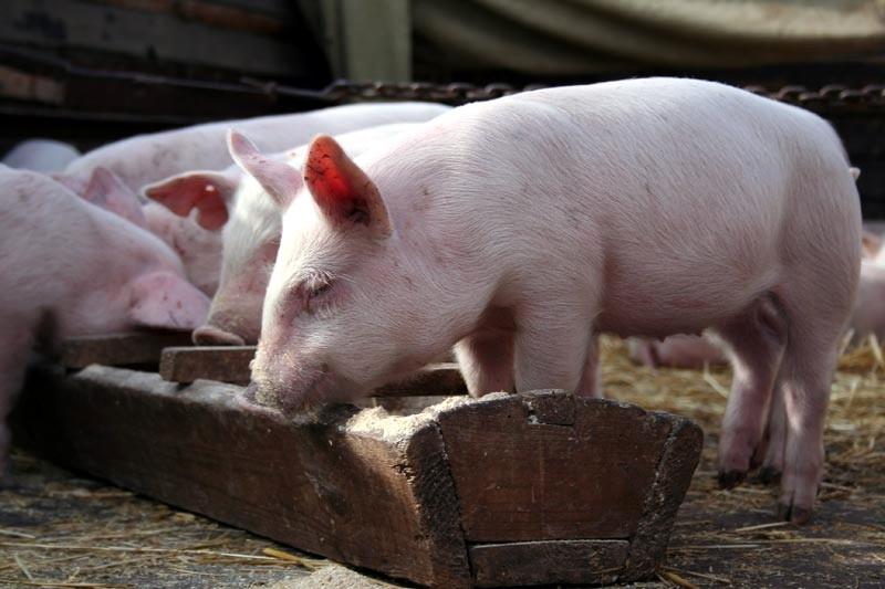 Сколько корма съедает свинья в день