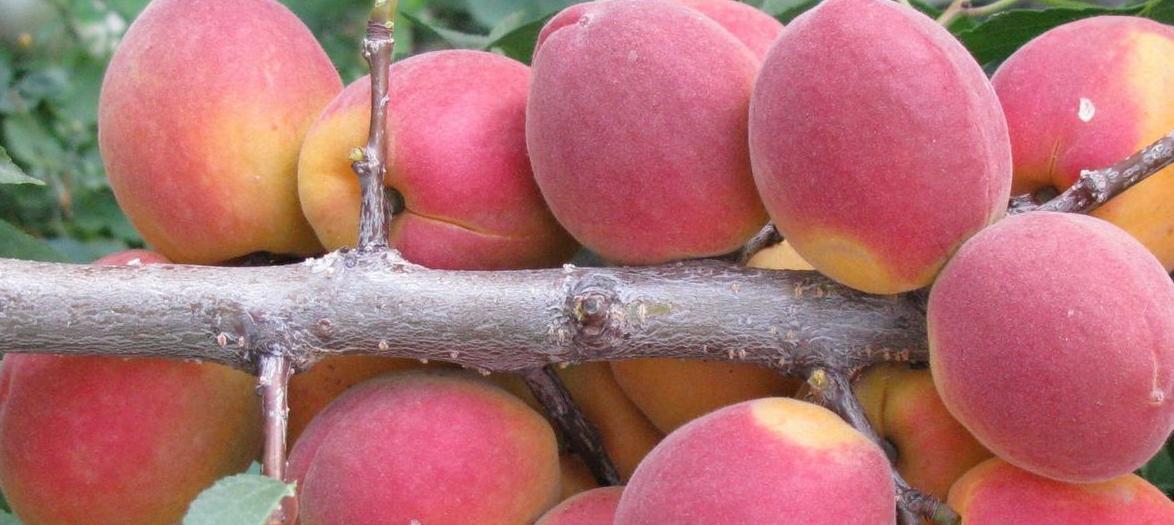 Душистый абрикос на дачном участке