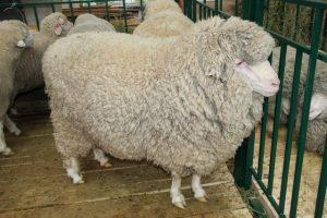 Порода овец Азербайджанский горный меринос