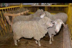 Порода овец Дагестанская горная
