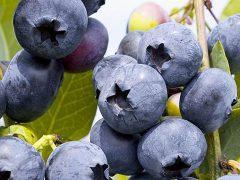 Десять советов по выращиванию голубики
