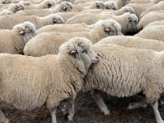 Тонкорунные породы овец