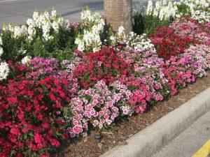 Низкорослые многолетние цветы для клумбы