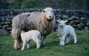 Порода овец Казахская тонкорунная