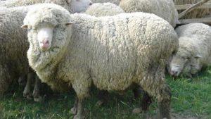 Киргизская тонкорунная порода овец