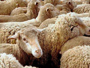 Красноярская порода овец