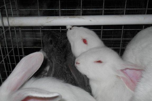 Нипельная поилка для кроликов