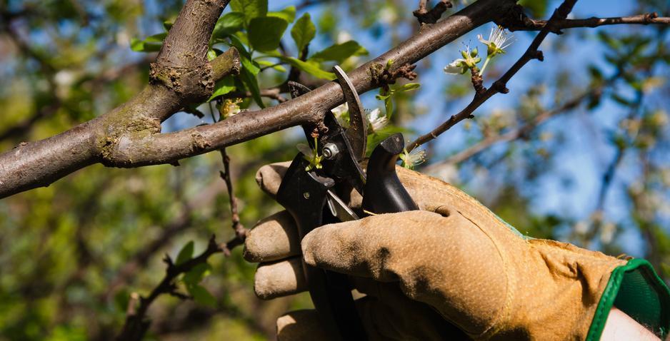Формирование кроны дерева (вишня)