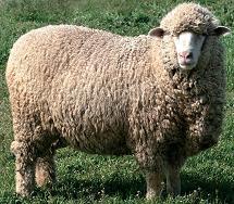 Порода овец Северо-казахский меринос