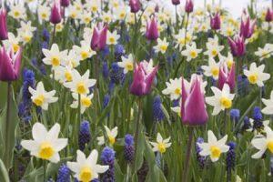 Цветы луковичные садовые для дачи
