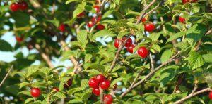 Десять советов по выращиванию вишни