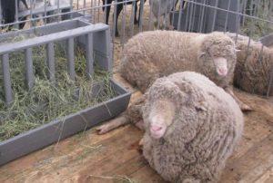 Вятская порода овец
