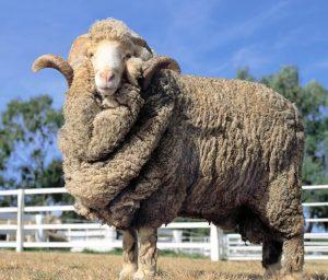 Порода овец Южно-казахский меринос