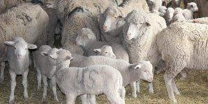 Забайкальская порода овец